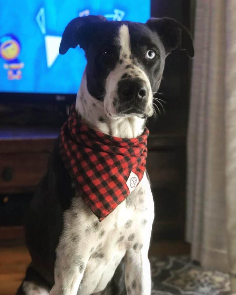 Great Dane and Border Collie mix (Great Collie)