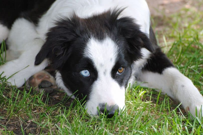 a heterochromic Border Aussie on a grass