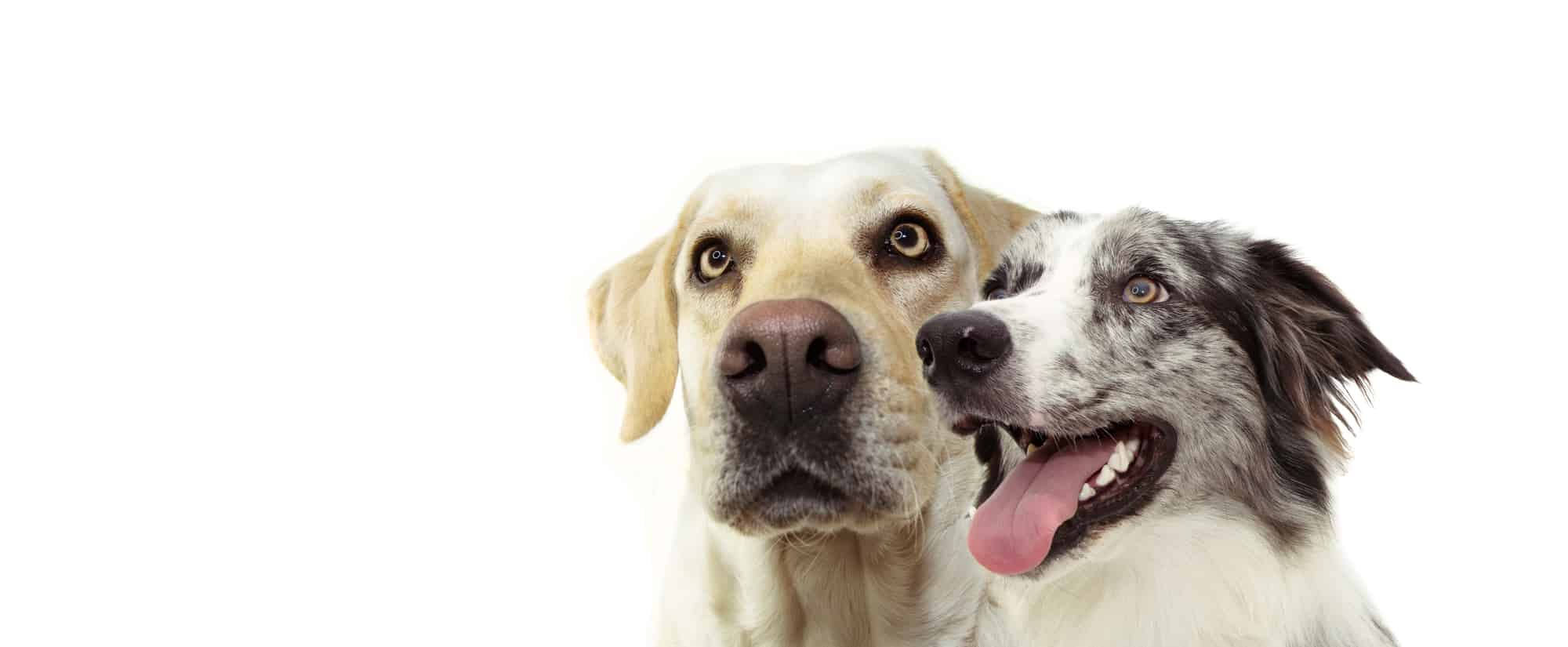 A banner photo of a labrador retriever and a happy blue merle border collie looking up on white background