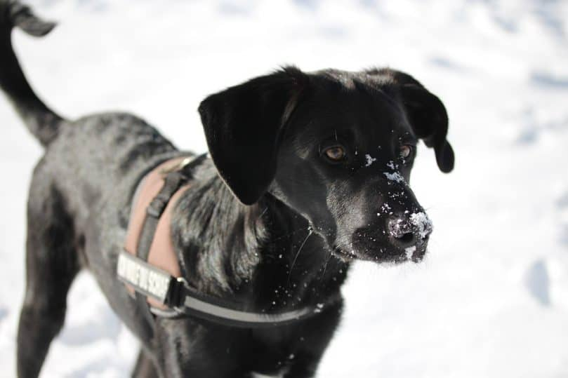 a black Border Collie Lab mix in the snow