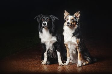 Two Border Collies with different coat colors and patterns on a black background