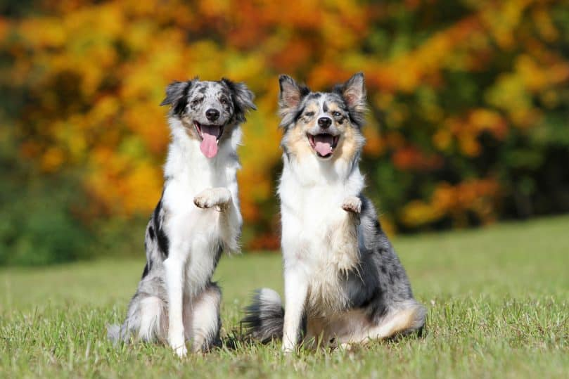 Two blue merle Border Collies with their left paw raised