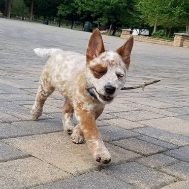 a Border Heeler puppy happily walking with a stick