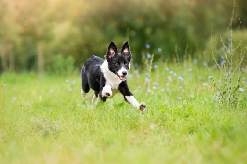 a black and white mini Border Collie puppy running through the meadow