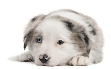 A close-up photo of a blue merle Border Collie puppy