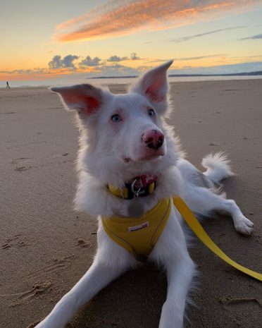 a double merle Border Collie spending time on the beach