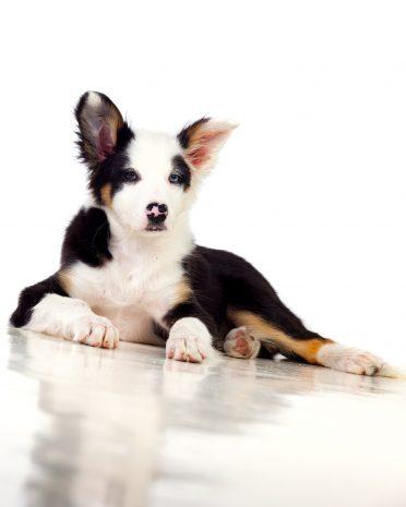 a tricolor mini Border Collie puppy resting
