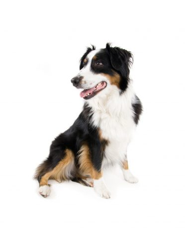 a tricolor miniature Border Collie sitting on a white background