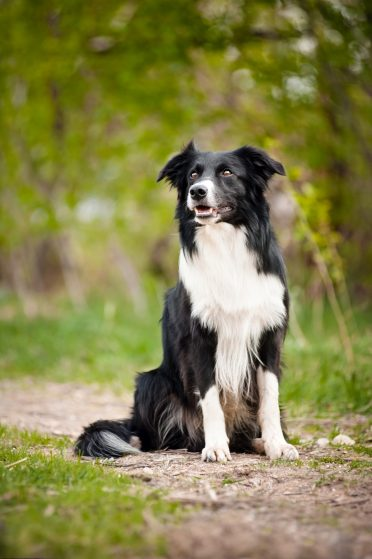 A young, black and white Border Collie
