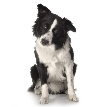 a black and white adult Border Collie on a white background