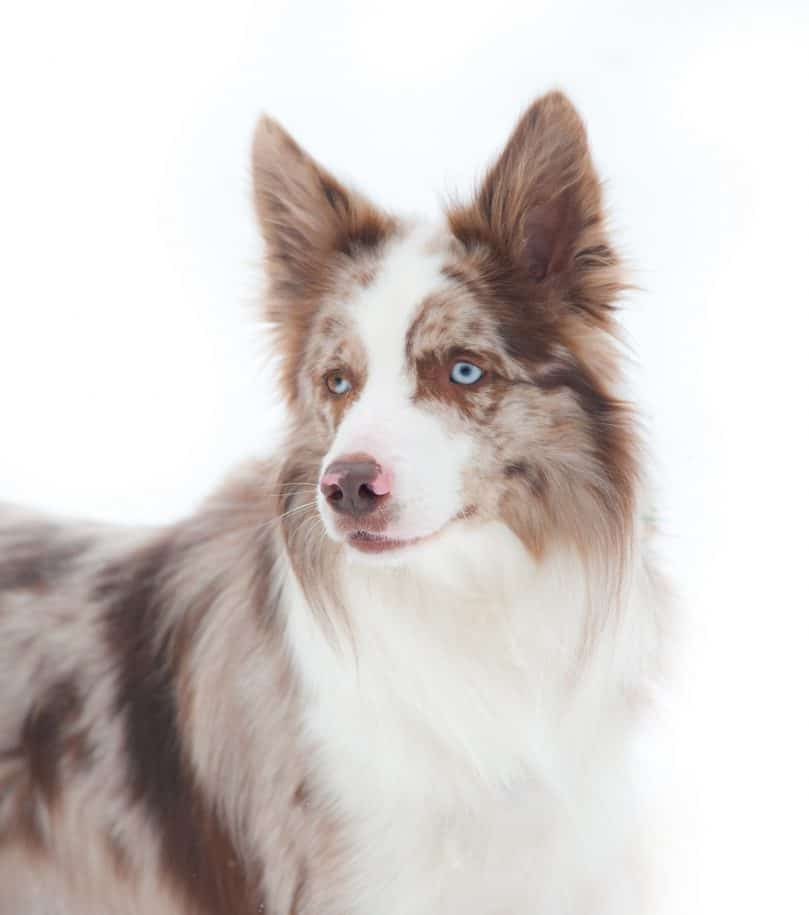 an adult red merle Border Collie with a merle eye