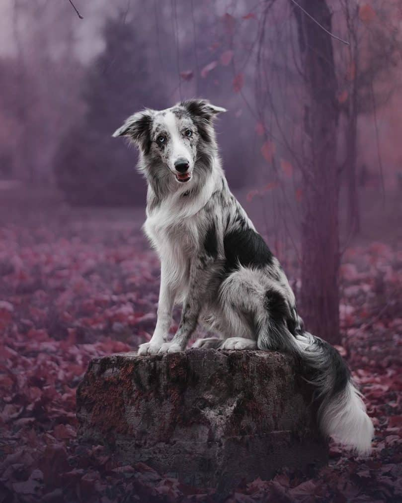 an adult slate merle Border Collie sitting on a tree stump, looking at the camera
