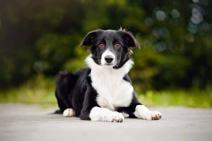a black and white Border Collie outdoors, sitting on a pavement