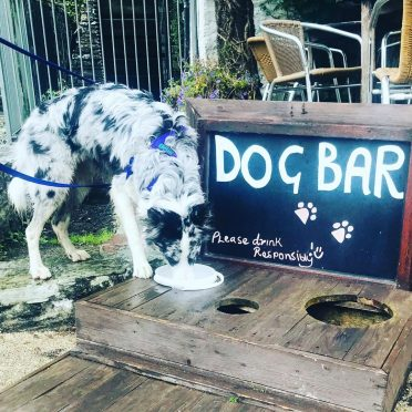 a blue merle Border Collie drinking from a dog bar