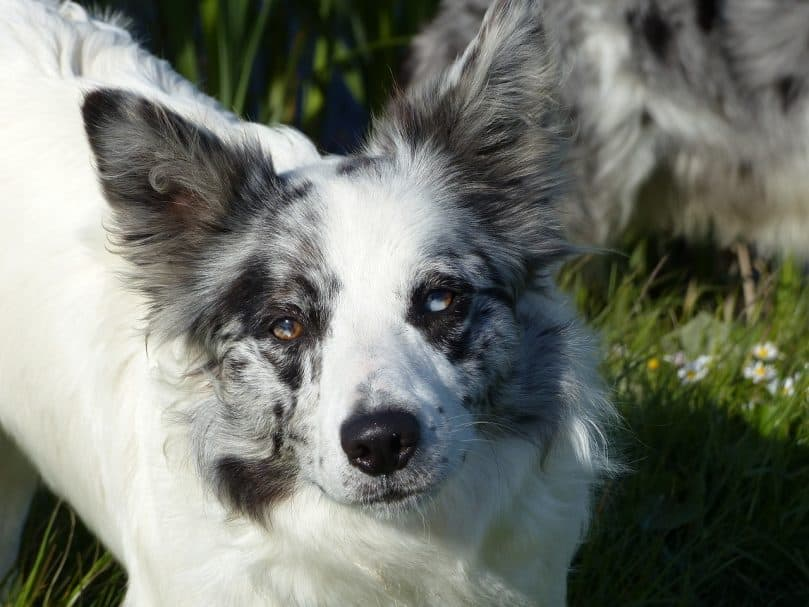 close-up photo of a blue merle Border Collie with merle eye