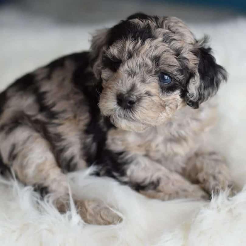 a blue merle mini Bordoodle puppy
