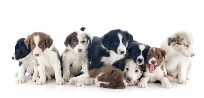 A portrait of different-colored Border Collie puppies