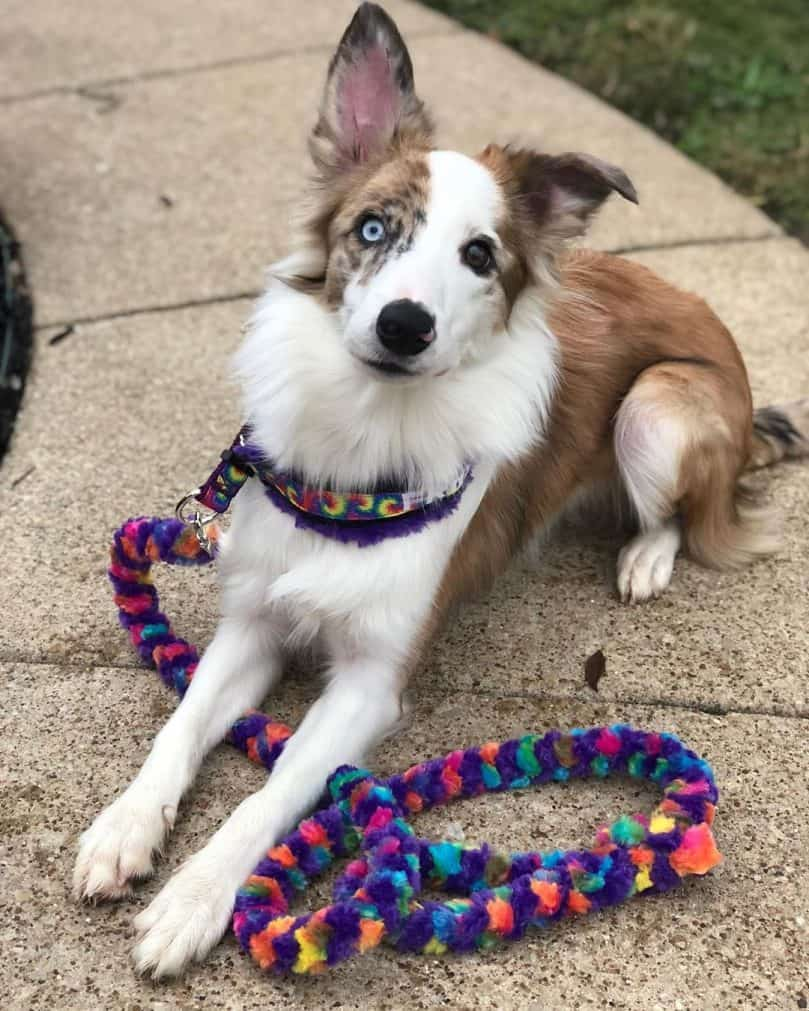 a cute sable merle Border Collie with a colorful leash sitting on a walk path