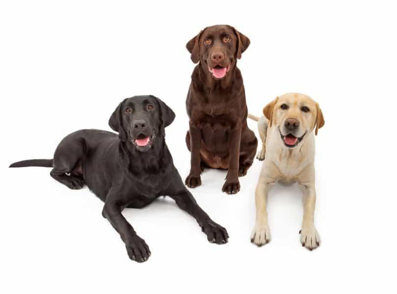 Three Labrador Retrievers - a black, chocolate, and yellow Lab