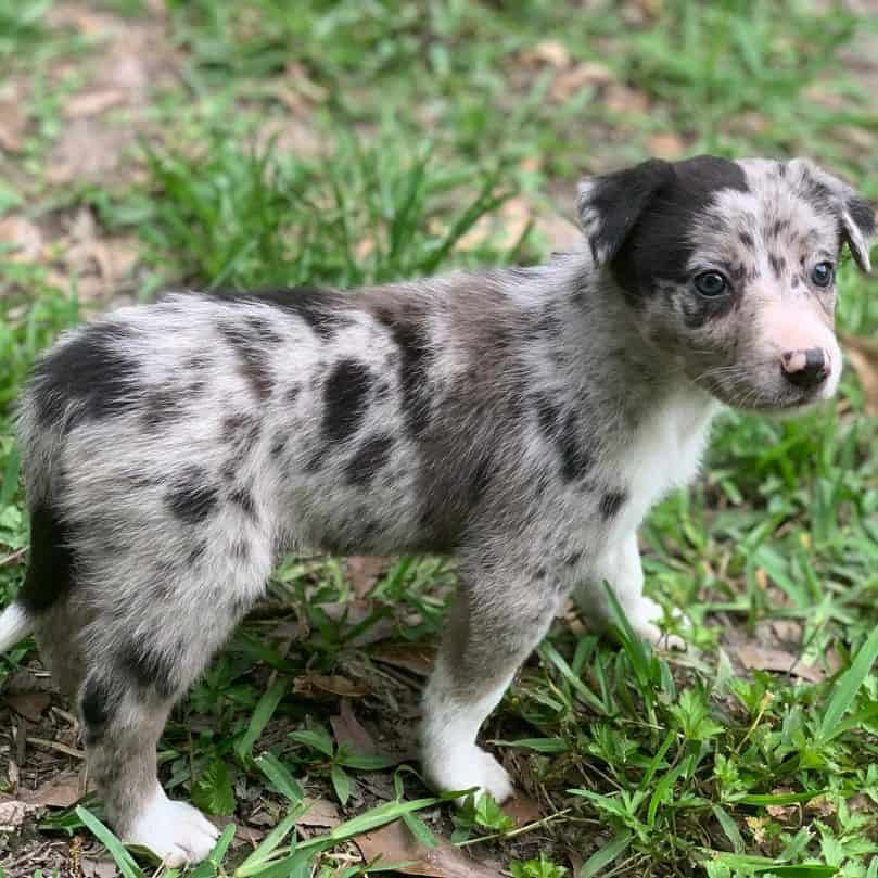a full body picture of a harlequin merle Border Collie puppy