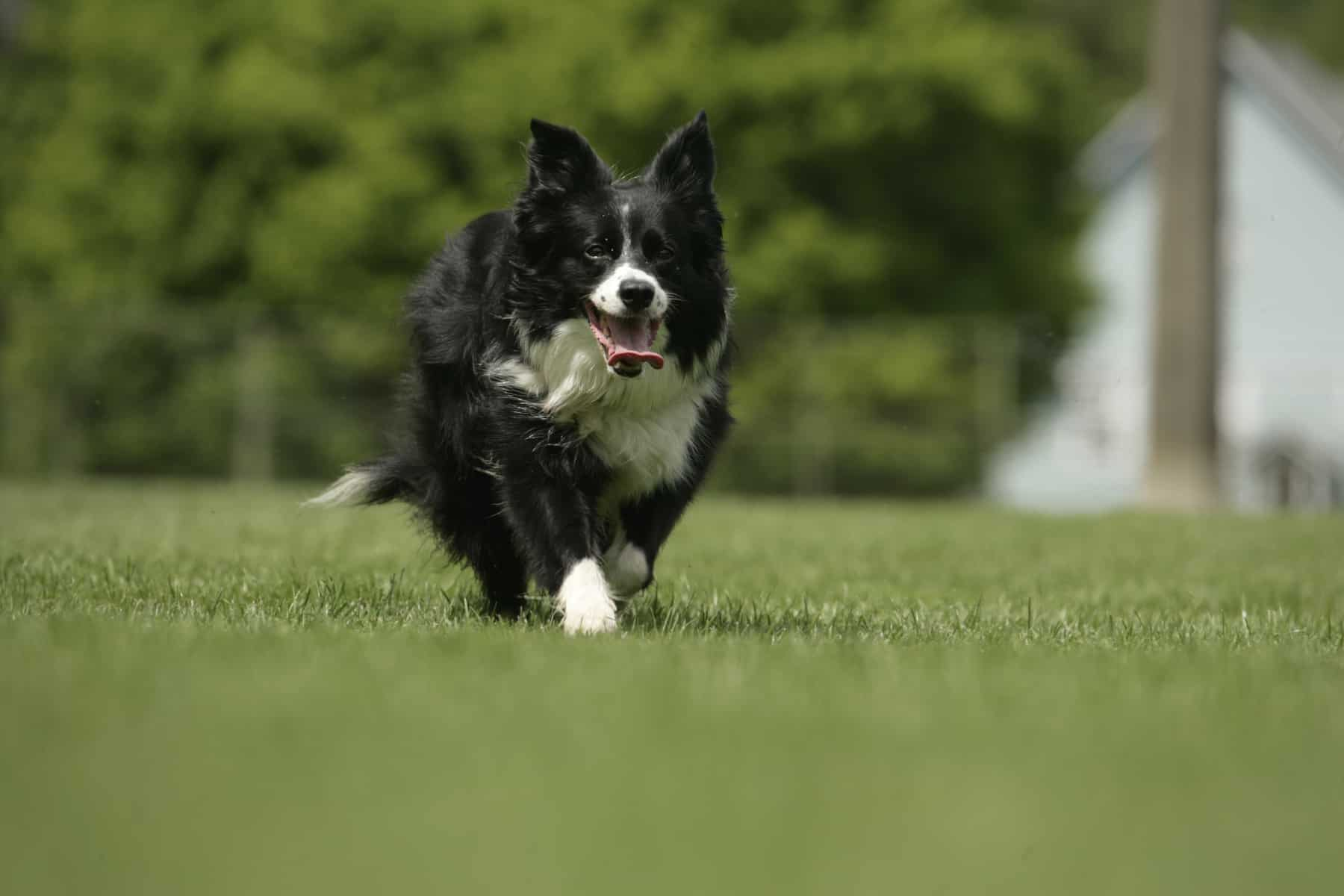 a miniature Border Collie, running on the grass