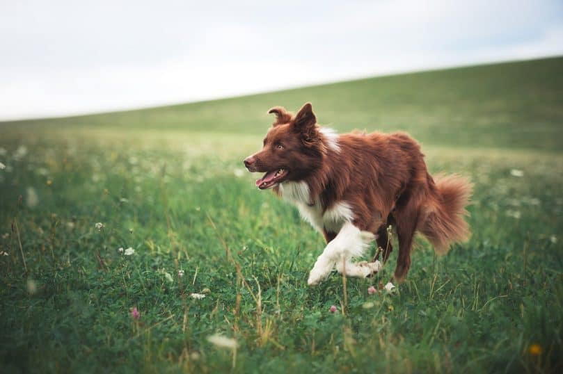 Border Collie with red and white-colored coat in a meadow