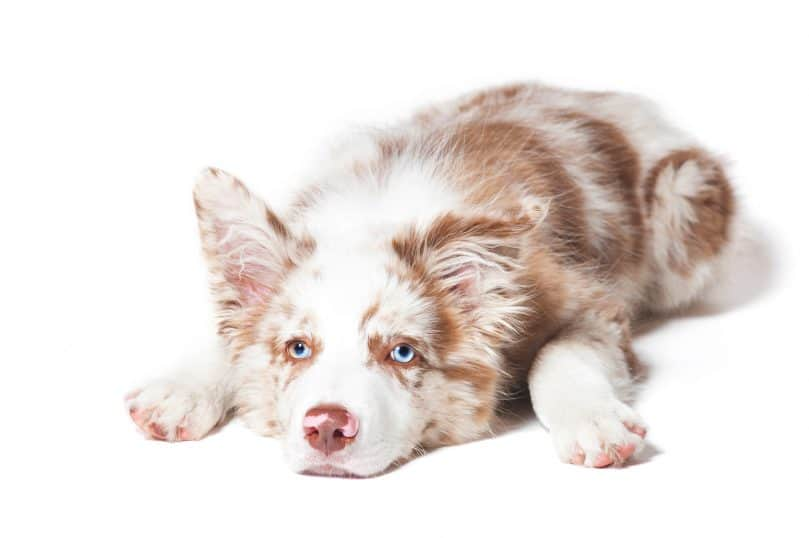 a red merle Border Collie puppy on a white background