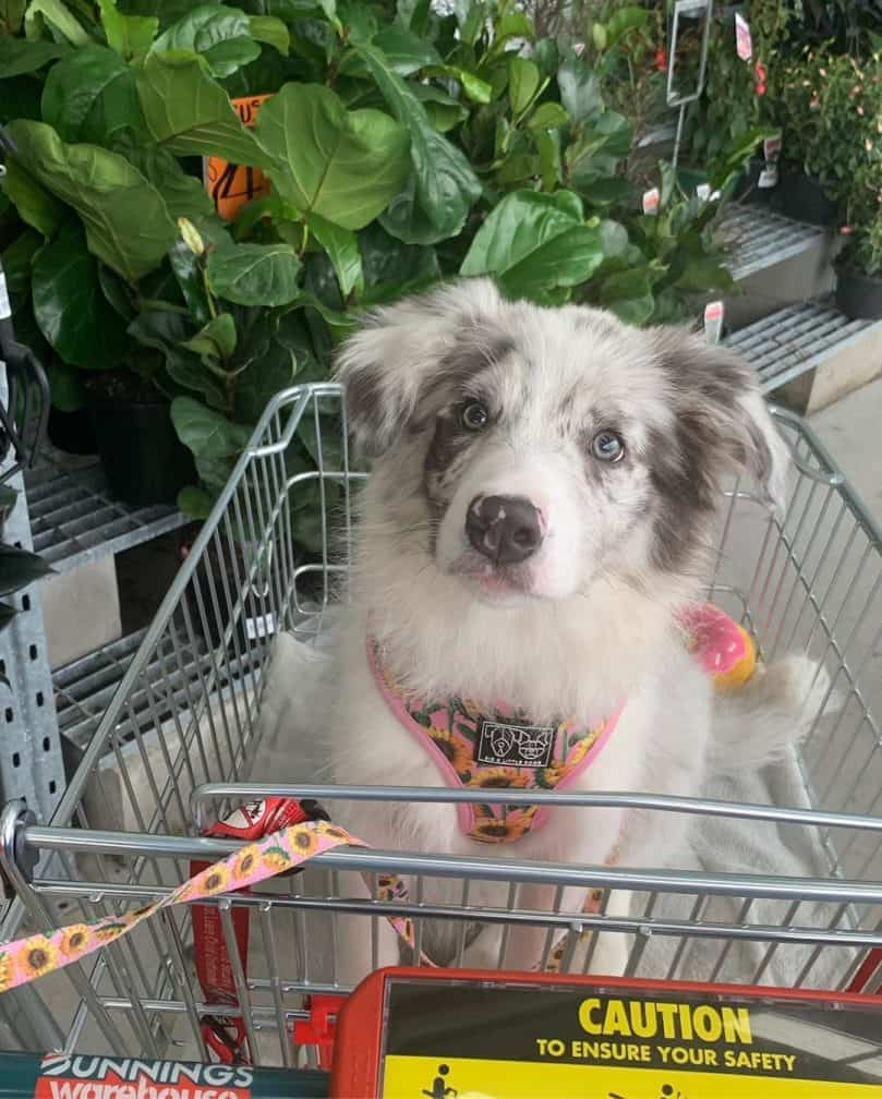 a slate merle Border Collie puppy in a push cart