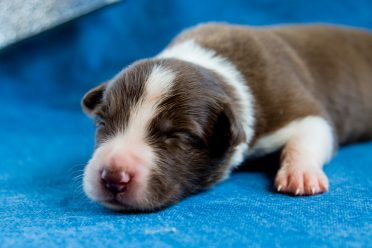 a small newborn Border Collie puppy sleeping