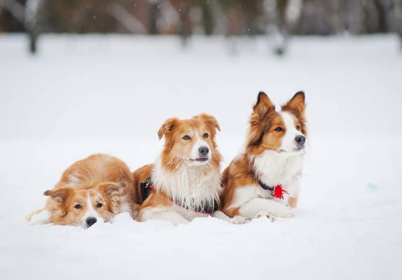 three sable Border Collies on the snow