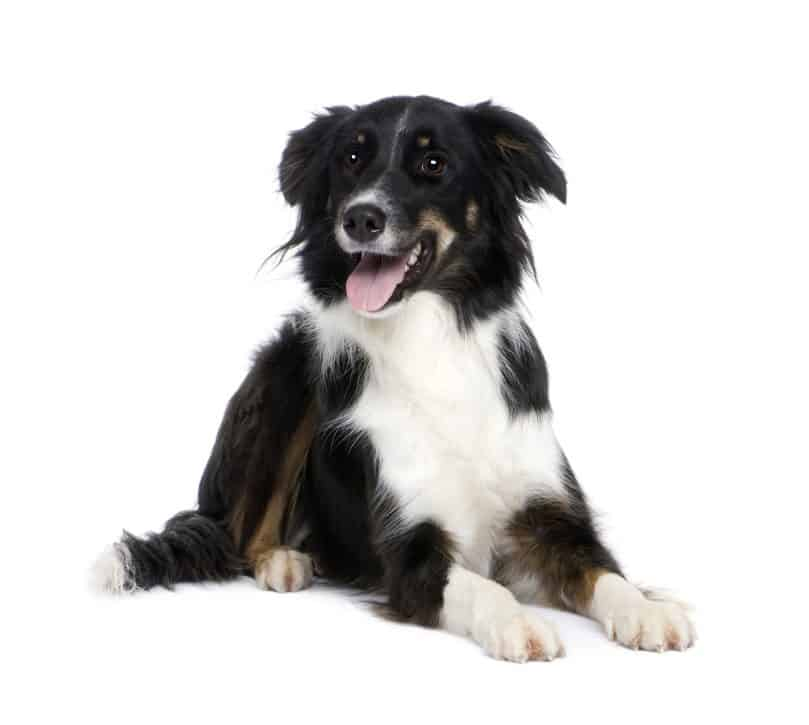 a black tricolor Border Collie on a white background