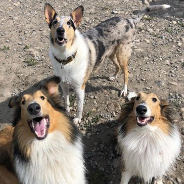 A Smooth Collie and two Rough Collies