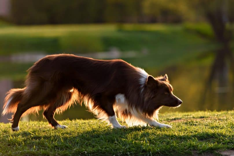 Rough Smooth Coat Border Collies What You Need To Know Bordercolliehealth