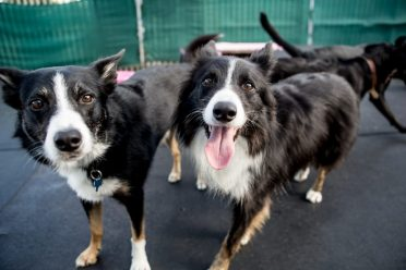 A photo of a smooth-coated Border Collie and a rough-coated Border Collie
