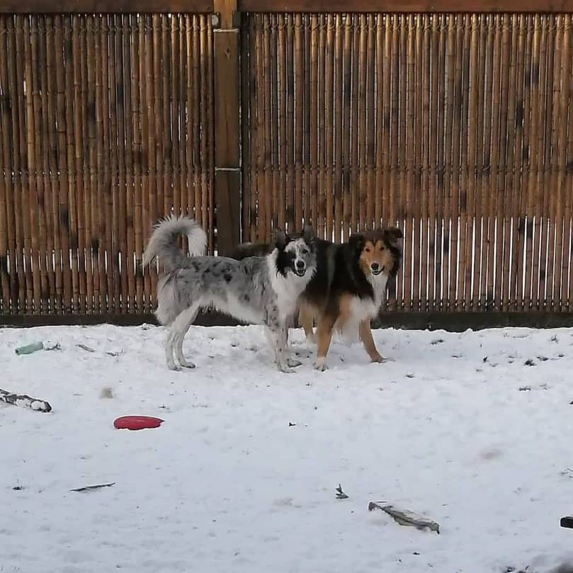 A merle Border Collie and a tricolor Rough Collie walking on snow