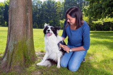 Border Collie groomed at the park by its owner to shed hair outside