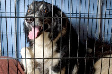 An adult Border Collie that's comfortable in a crate or cage with pillows/dog beds
