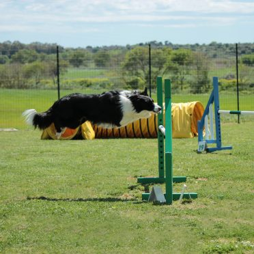 Border Collie jumping on a hurdle in an agility ring