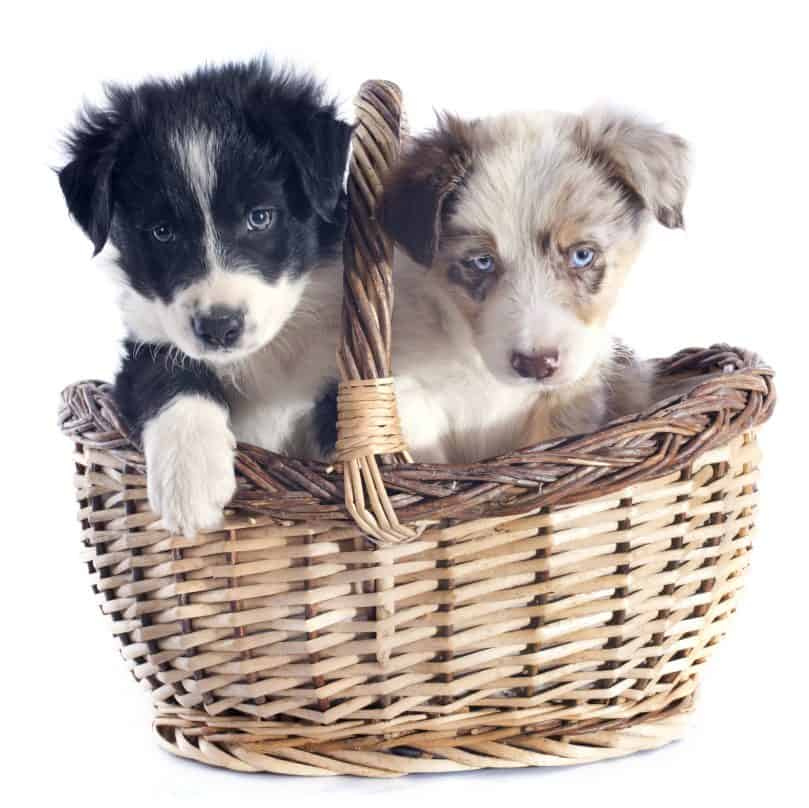 Different colored Border Collie puppies for sale in a basket