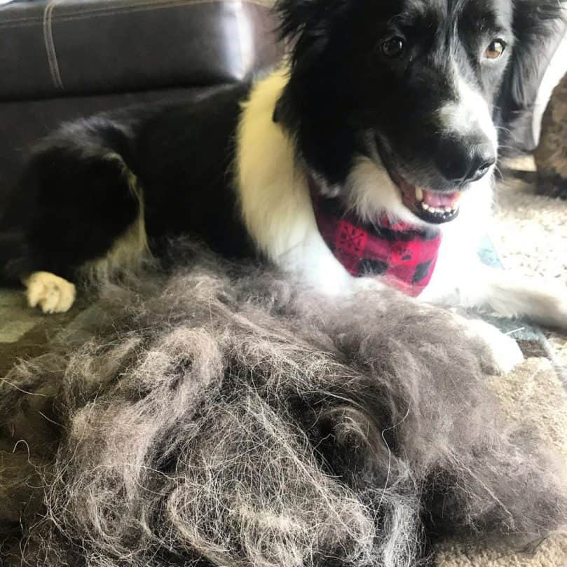 A picture of a Border Collie with its hair after a deshedding brush