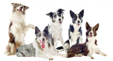 Rough-coated and smooth-coated Border Collies