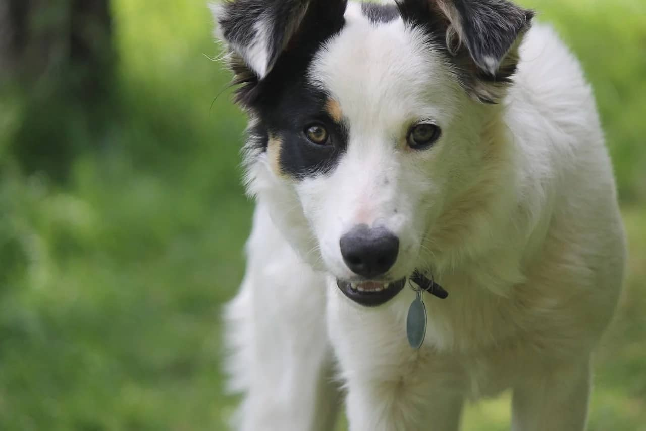 Color-headed white Border Collie