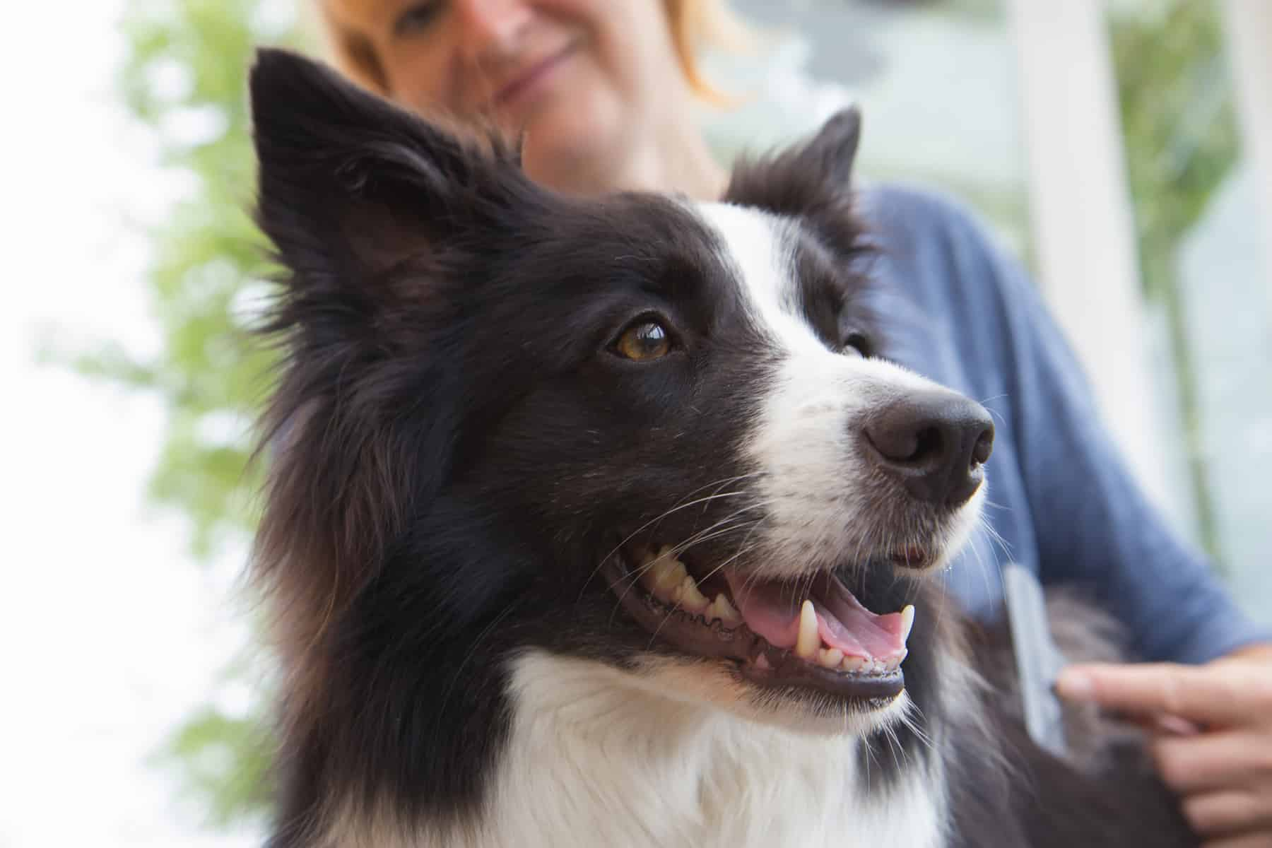 Controlling a Border Collie's shedding
