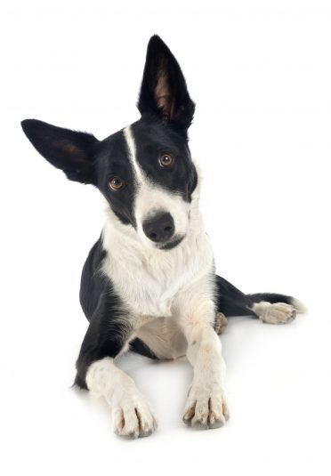 cute black and white smooth coated Border Collie