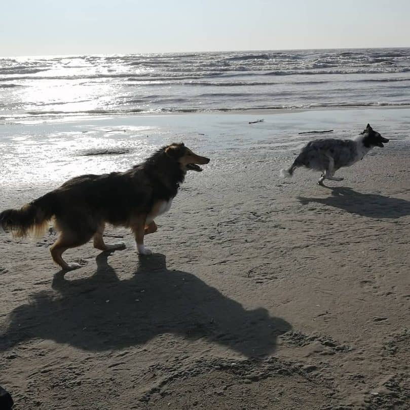 A Rough Collie and blue merle Border Collie running at the beach