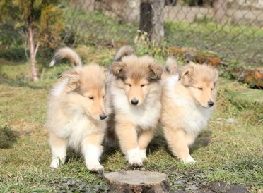 Group of Scotch Collie puppies running together in the garden