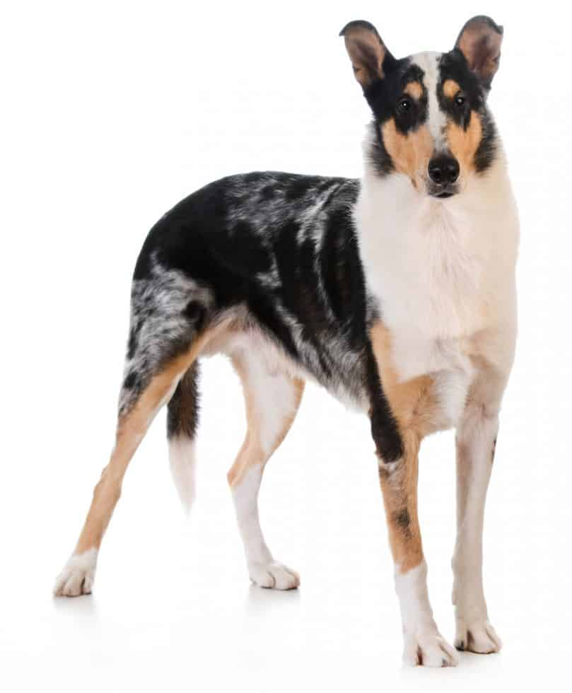 A tricolor smooth-coated Collie