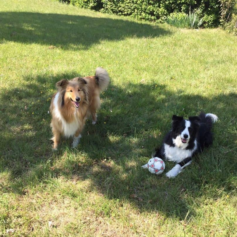 a Rough Collie and a Border Collie playing with a ball