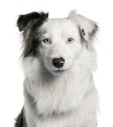 an adult white Border Collie with a few colors and blue eyes