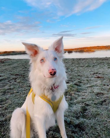 a double-merle Border Collie spending time outdoors